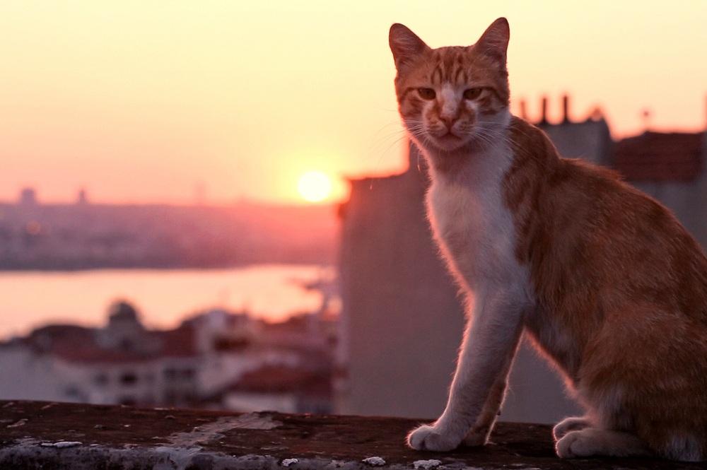 7 İstanbul Kedisini Anlatan Belgesel 'Kedi'nin Uluslararası Fragmanı Yayınlandı!